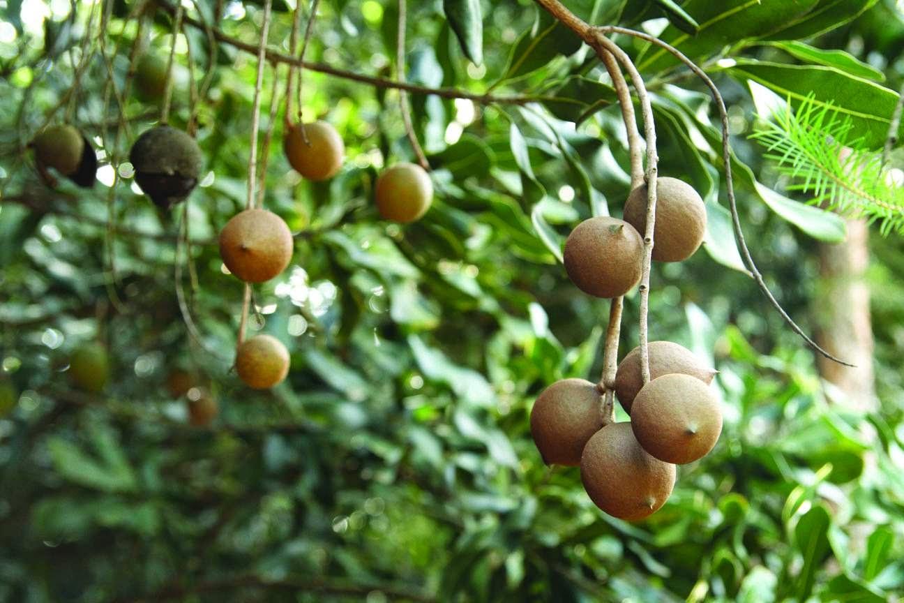 cây mắcca