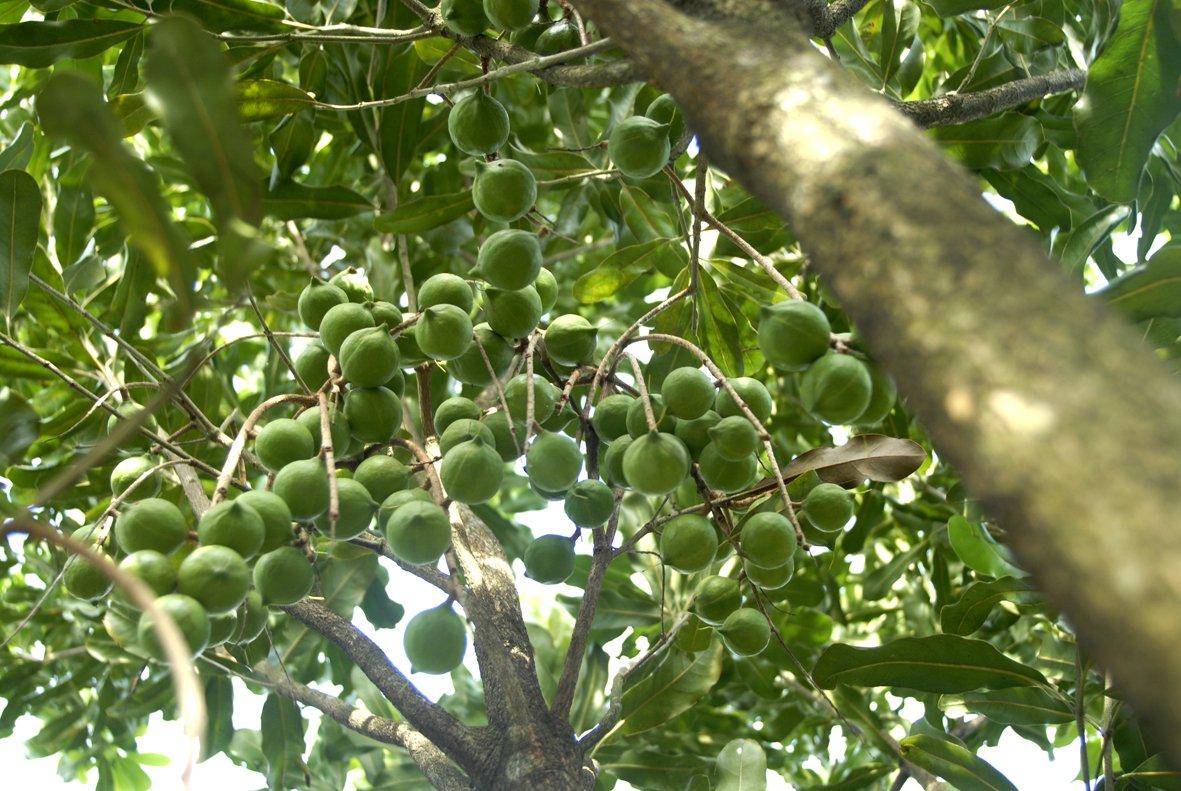 Mắcca được trồng tại tây nguyên