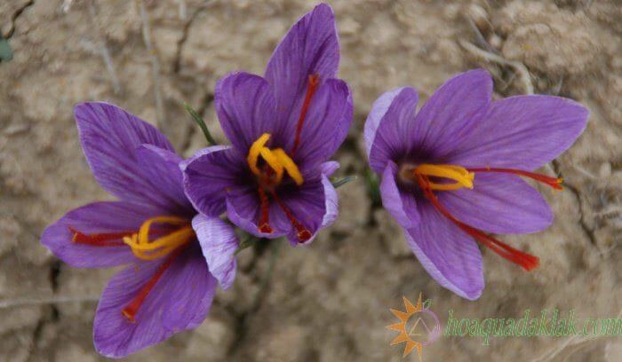 Nhụy hoa nghệ tây chứa rất nhiều vitamin tốt cho sức khỏe