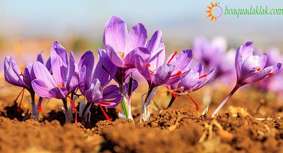 Nhụy hoa nghệ tây chứa rất nhiều khoáng chất