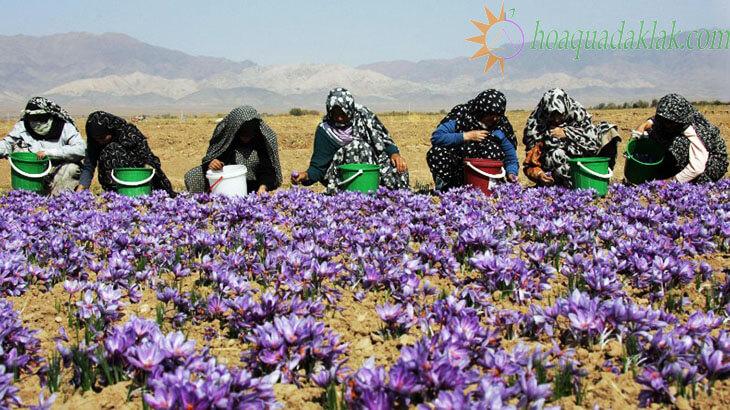 Liều dùng saffron: